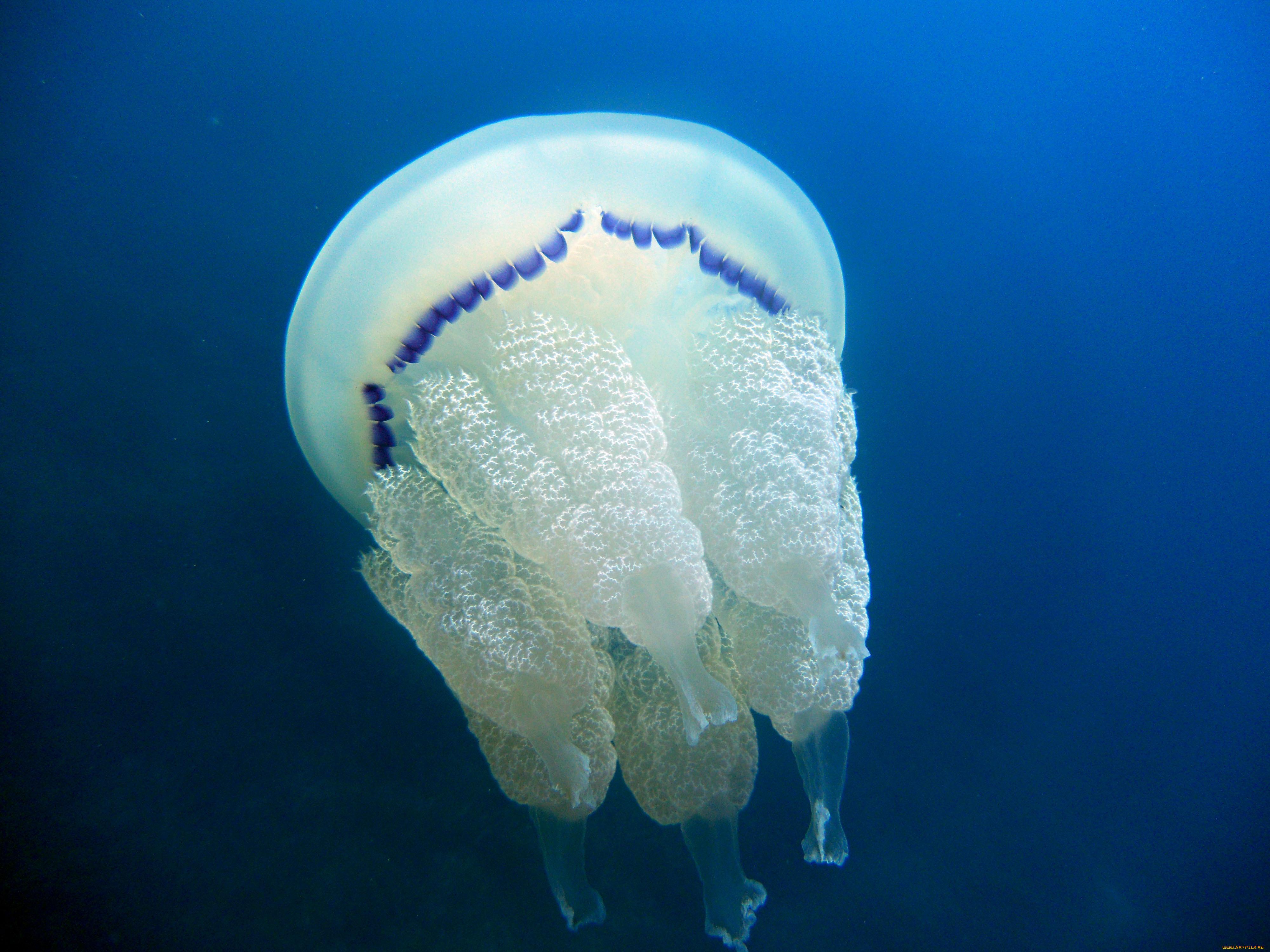 настроение москвичам медузы черного моря фото и описание как выполняется